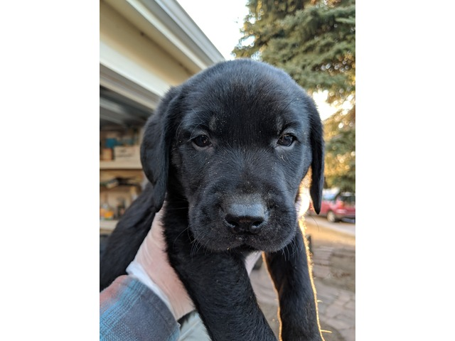 AKC REGISTERED LAB PUPPIES AVAILABLE NOW! in Greeley, Weld